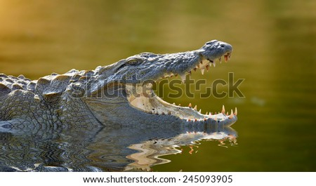 Large crocodile, National Park, Sri Lanka  - stock photo