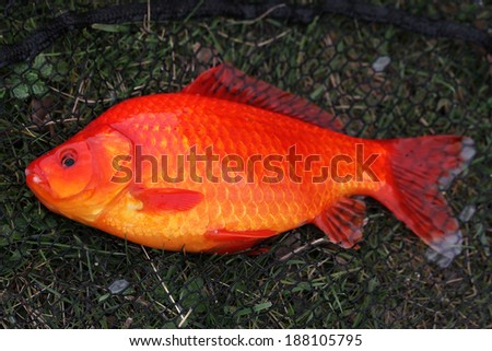 Large Crucian Carp Goldfish caught by angler in commercial fishing lake.