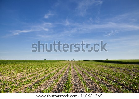 Large cultivated beet field and blue sky