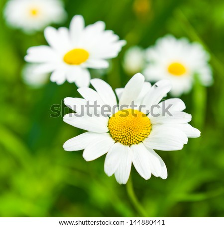 Large daisies - stock photo