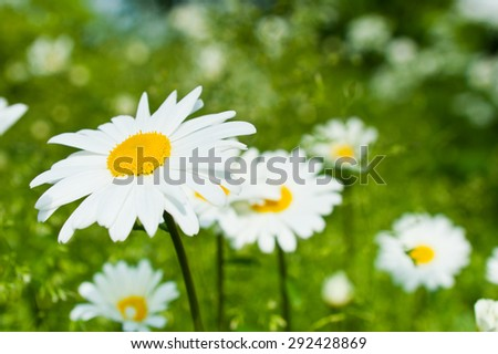 Large daisies in summer sunny day