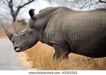 Large, dangerous female Rhino in Kruger Park - stock photo