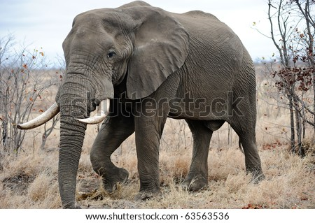 Large dangerous male Elephant roaming the Kruger Park - stock photo