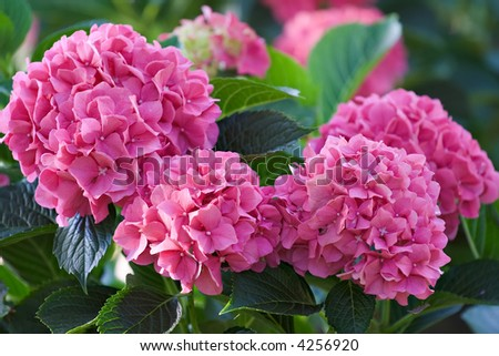 Large deep pink hydrangea blossoms - August summer flower. - stock photo
