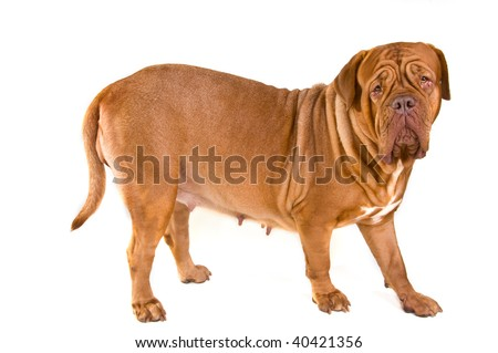 Large Dog of Dogue De Bordeaux Breed Standing