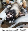 Large dog under anesthesia in veterinarian clinic - stock photo
