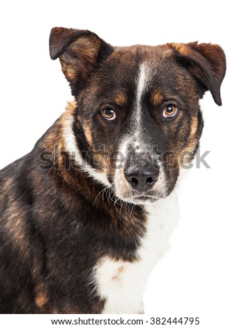 Large dog with attentive and protective expression - stock photo