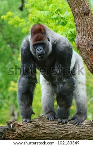 Large dominant male western gorilla (Gorilla gorilla) also called Blackback or Silverback Gorilla in a very intimidating pose. - stock photo