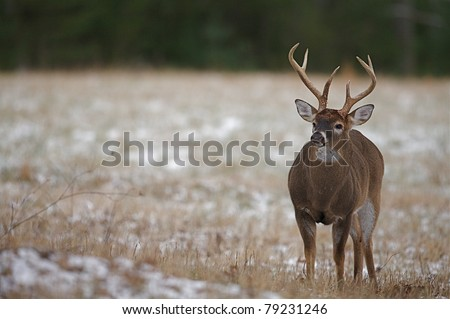 Large dominant Whitetail Buck Deer with rut-swollen neck - stock photo