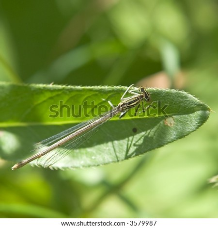 Large dragon-fly sits on a green blade of grass