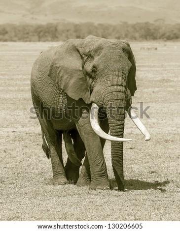 Large elephant male in Crater Ngorongoro National Park - Tanzania, East Africa (stylized retro) - stock photo