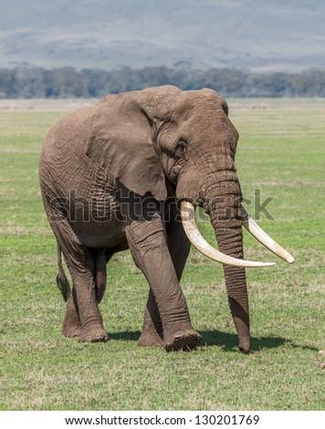 Large elephant male in Crater Ngorongoro National Park - Tanzania, Eastern Africa - stock photo