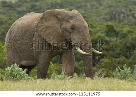 Large elephant walking and looking for food early in the morning - stock photo