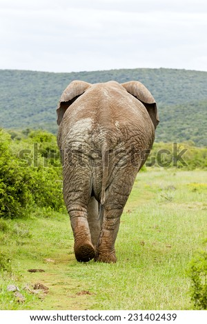 Large elephant walking away and into some thick overgrown bush - stock photo