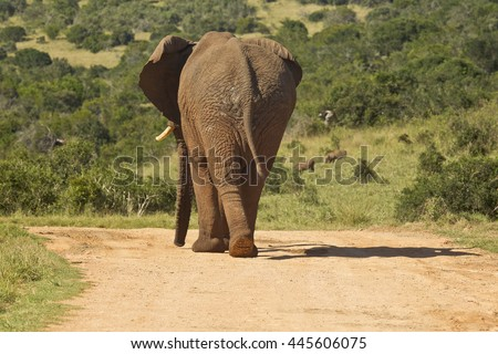 Large elephant walking away from the camera down a dusty road - stock photo