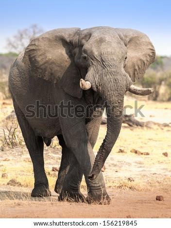 Large elephant walking in savannah - stock photo