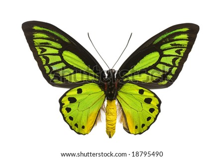 Large emerald birdwing butterfly (O priamus poseidon) originating from the jungles in the Arfak mountains, Indonesia - stock photo