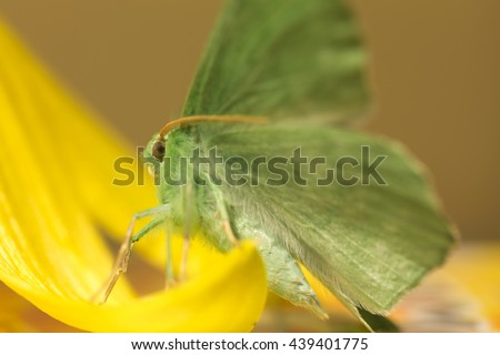 Large emerald Moth in big detail, Geometra Papilionaria