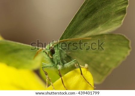 Large emerald Moth in big detail, Geometra Papilionaria - stock photo
