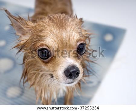 large-eyed wet chihuahua dog  in bathroom  - stock photo