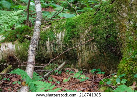 Large fallen birch tree in the pristine forest