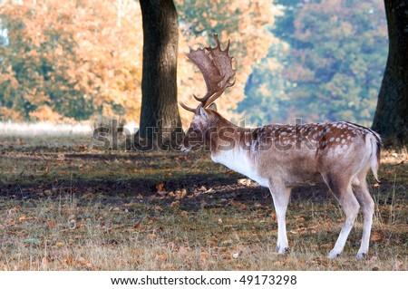Large Fallow Buck - stock photo