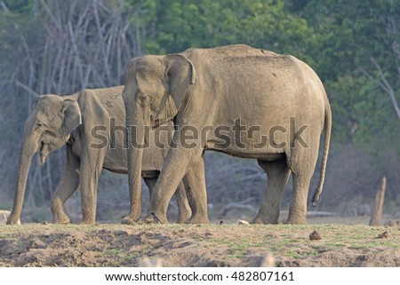 Large Female Indian Elephant along the Kabini River in Nagarhole National Park in India