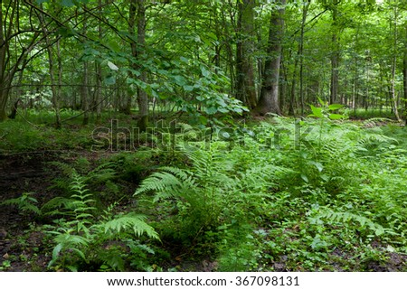 Large fern bunchs in summertime shady deciduous stand of Bialowieza Forest,Bialowieza Forest,Poland,Europe - stock photo