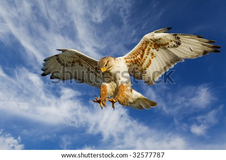 Large Ferruginous Hawk in attack mode with blue sky - stock photo
