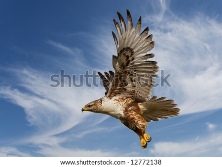 Large Ferruginous Hawk in flight with blue sky background - stock photo