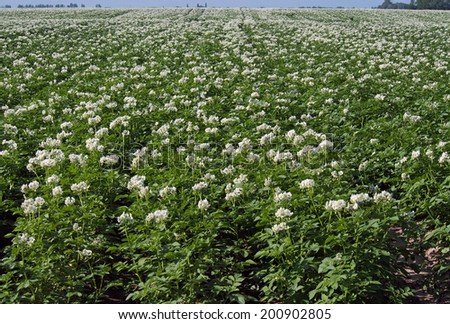 Large field of flowerings plants of potato - stock photo