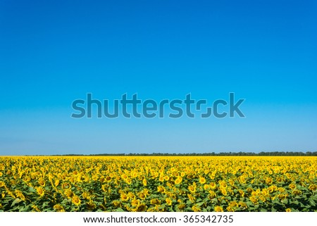 Large field of sunflowers in summer Sunny day.  - stock photo