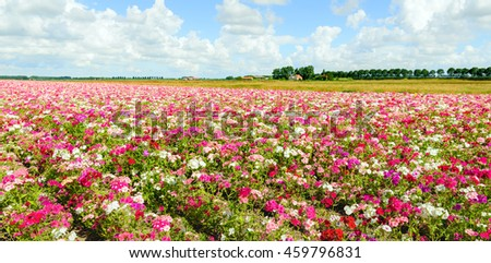 Large field with blossoming Phlox plants in a wide variety of colors at a specialized Dutch seed grower. It is a cloudy day in the mid summer season. - stock photo
