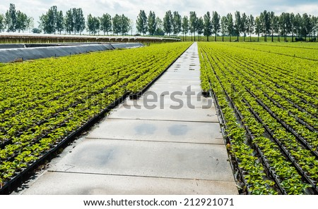 Large field with young strawberry plants ready to plant. - stock photo