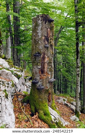 Large fir snag / Large standing dead tree full of wood decay fungi is important part of forest ecosystem. - stock photo