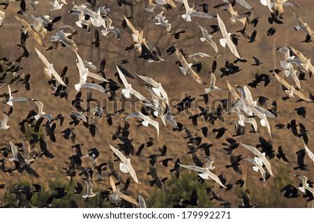 Large flock of birds. - stock photo