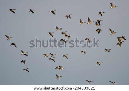 Large Flock of Canada Geese Flying in Blue Sky