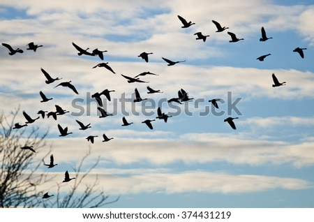 Large Flock of Geese Silhouetted in the Cloudy Sky - stock photo