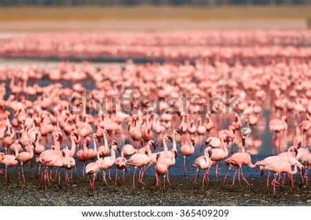Large flock of lesser flamingos in an alkaline Lake in the rift valley - stock photo