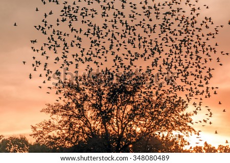 Large flock of Starlings flying over a tree silhouette at sunset - stock photo