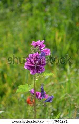 large flower with purple flowers, partially faded with green meadow in the background