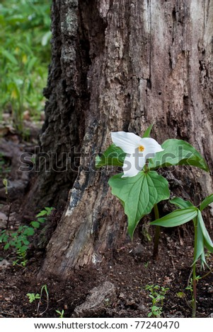 large-flowered trillium spreads its petals on the forest floor. trillium is nestled in the root crown of a large tree