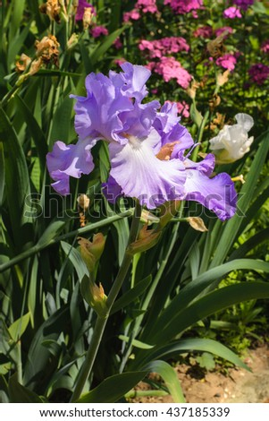 Large flowers irises in the garden