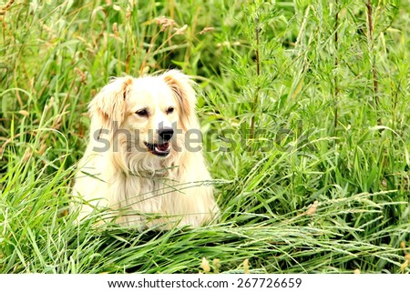Large, fluffy, white dog in nature. Gorgeous cute puppy. Plays in nature. Puppy playing in the grass. Cute dog walks in the field. - stock photo