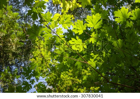 Large fresh green maple leaves with sun shinning through & around them in a forest - stock photo