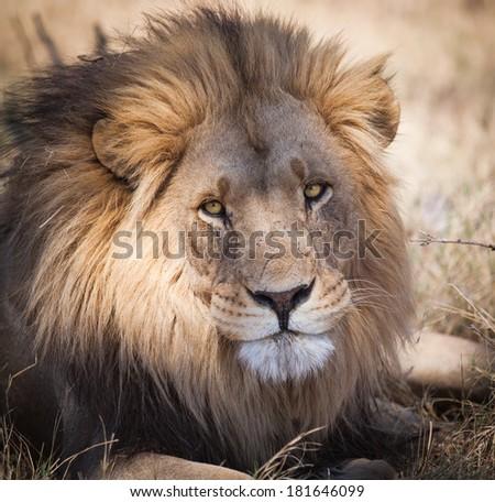 Large full mane portrait lion staring intensely - stock photo