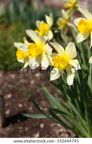 Large garden daffodils growing in the ground