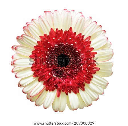 Large Gerber flower isolated on white background - stock photo