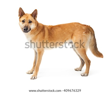 Large German Shepherd mixed breed dog standing to side over white - stock photo