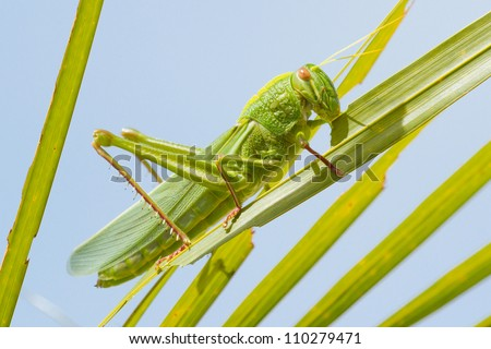 Large grasshopper from the side, eating grass - stock photo